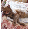 Прекрасному рыжему коту нужен дом